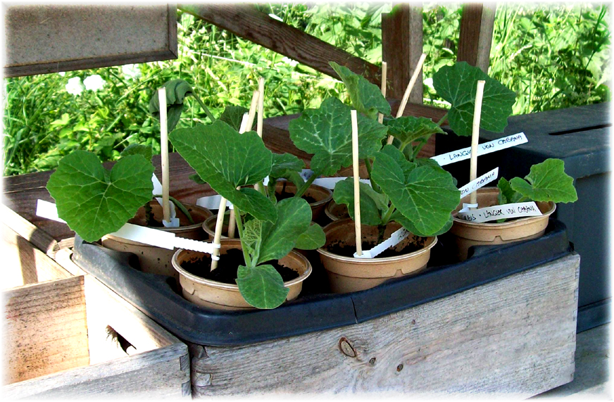 kürbis pflanzen